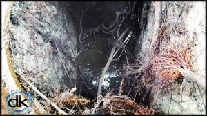 stromwater drain over run with tree roots