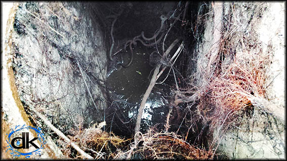 Stormwater drain blocked with a mass of tree roots
